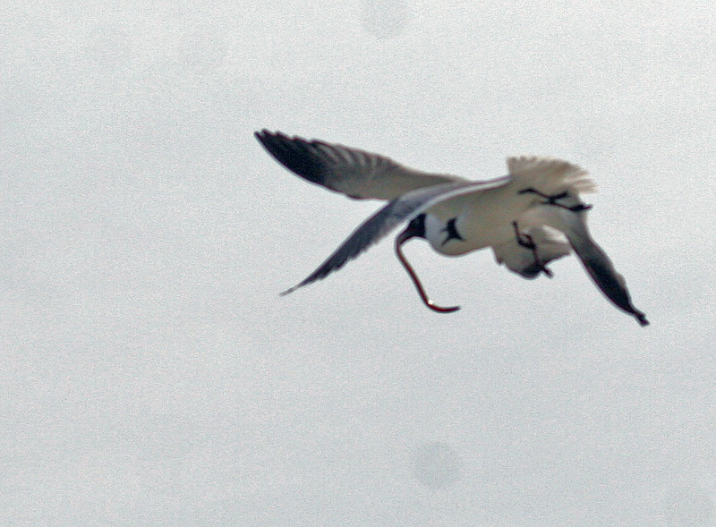 "Terrible photo showing two Laughing Gulls fighting over a shrimp eel. The gulls flew low overhead near Eunice who screemed ""snake"" !!!!!!!!"