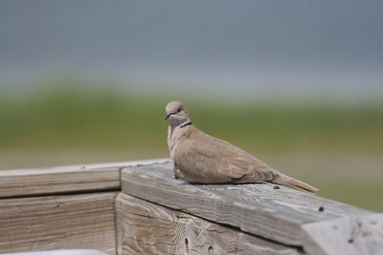 Eurasian-collared Dove - Rockport Beach Park