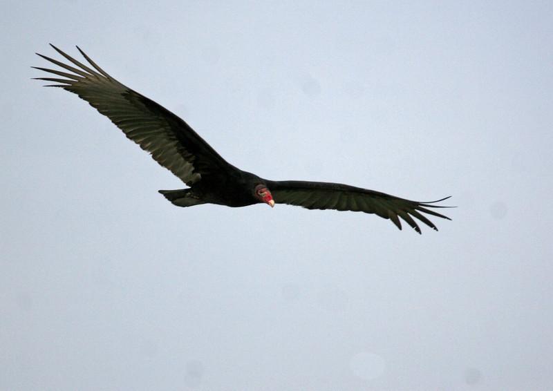 Turkey Vulture - Fulton Harbor