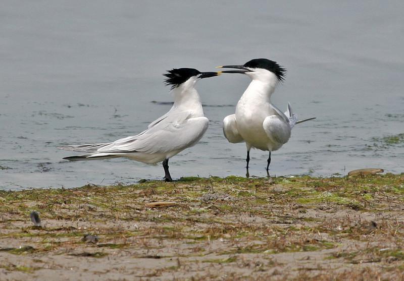 Sandwich Tern -  Ah, it must be spring!