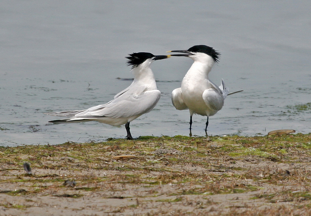 Sandwich Tern -  Ah, it must be spring!