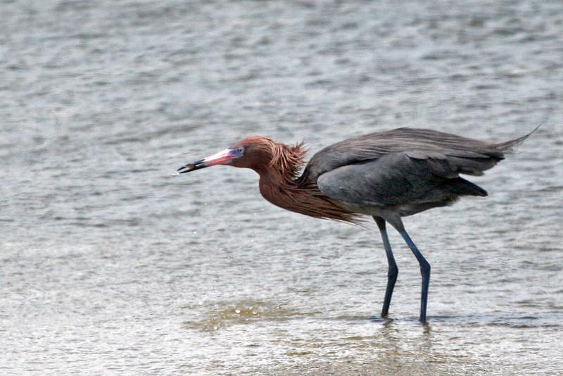Reddish Egret - Rockport Beach Park