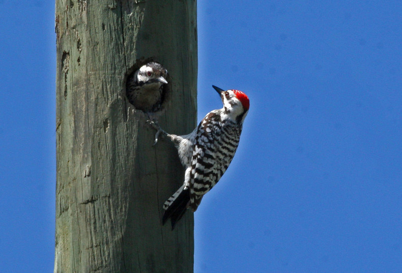Ladder-backed Woodpecker - Nueces Hilltop Trails. This was the last bird of the trip and they entertained us for a good 20 minutes!