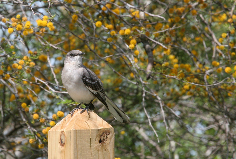 """Texas"" Mockingbird - Labonte Park.     Northern Mockingbird and weesatch (huisatche) blooms are the first sign of spring."