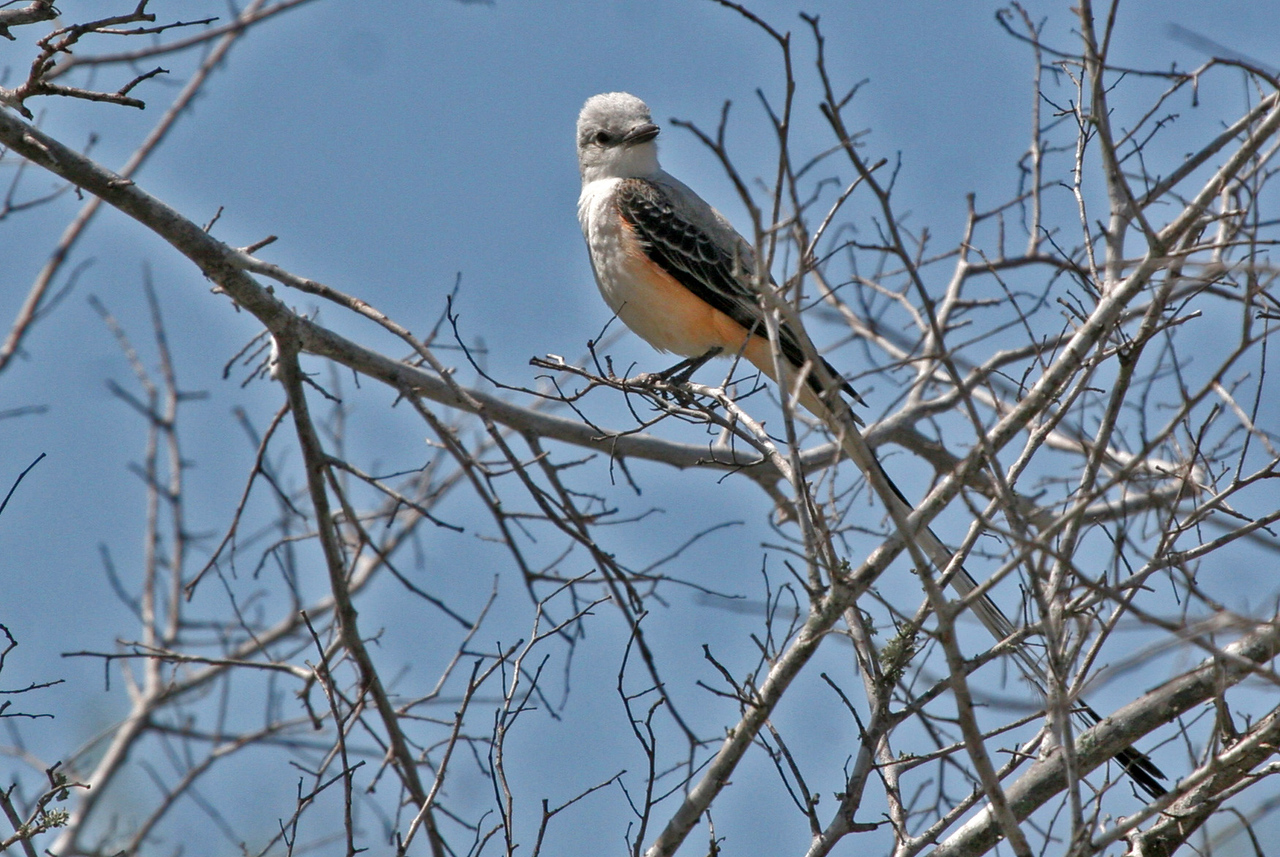 Scissor-tailed Flycatcher - Labonte Park