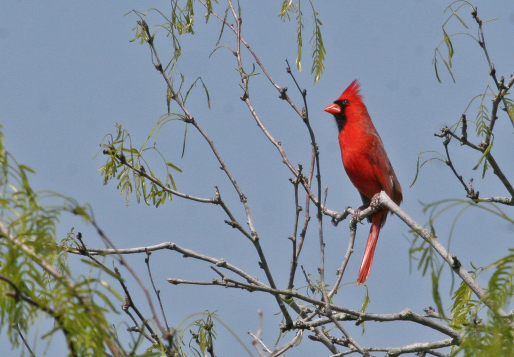 Northern Cardinal - Labonte Park