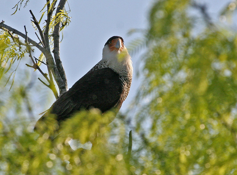 Crested Caracara - Choke Canyon, Calliham Unit