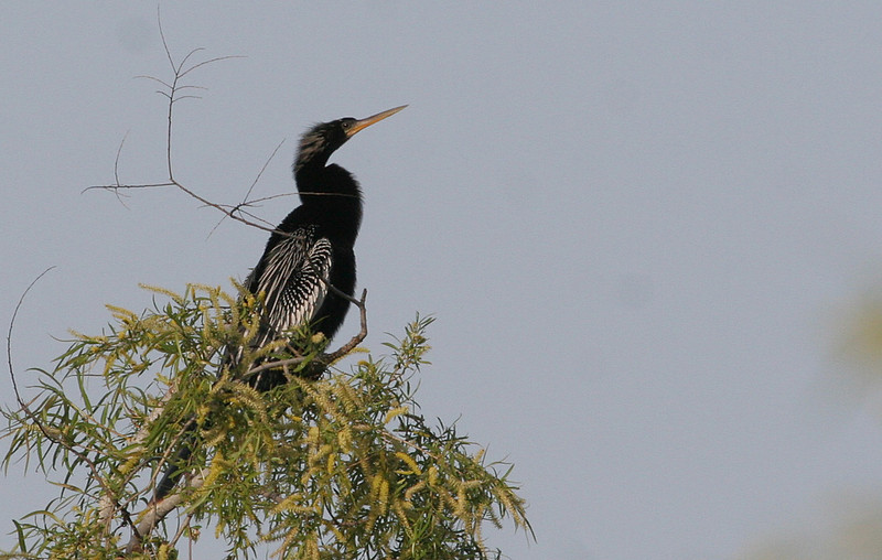 Anhinga -  I wanted to get closer, but one large alligator kept me on the path! Looks like the breeding crest is developing.