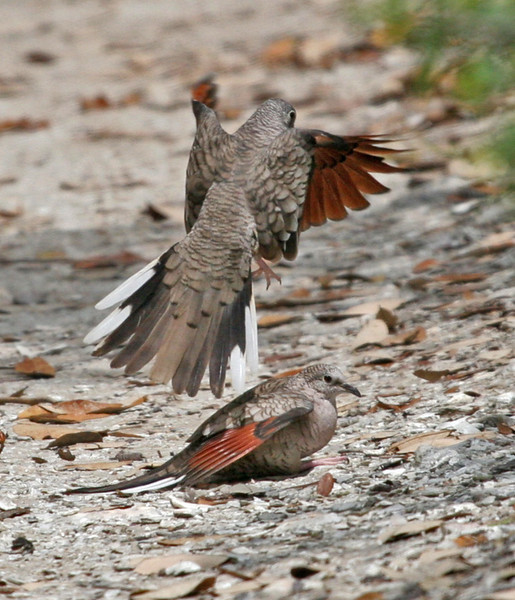Inca Doves displaying and mating on Goose Island.