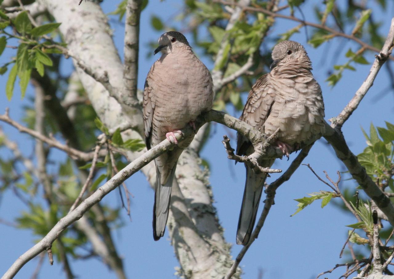 Inca Dove - Hazel Bazemore County Park