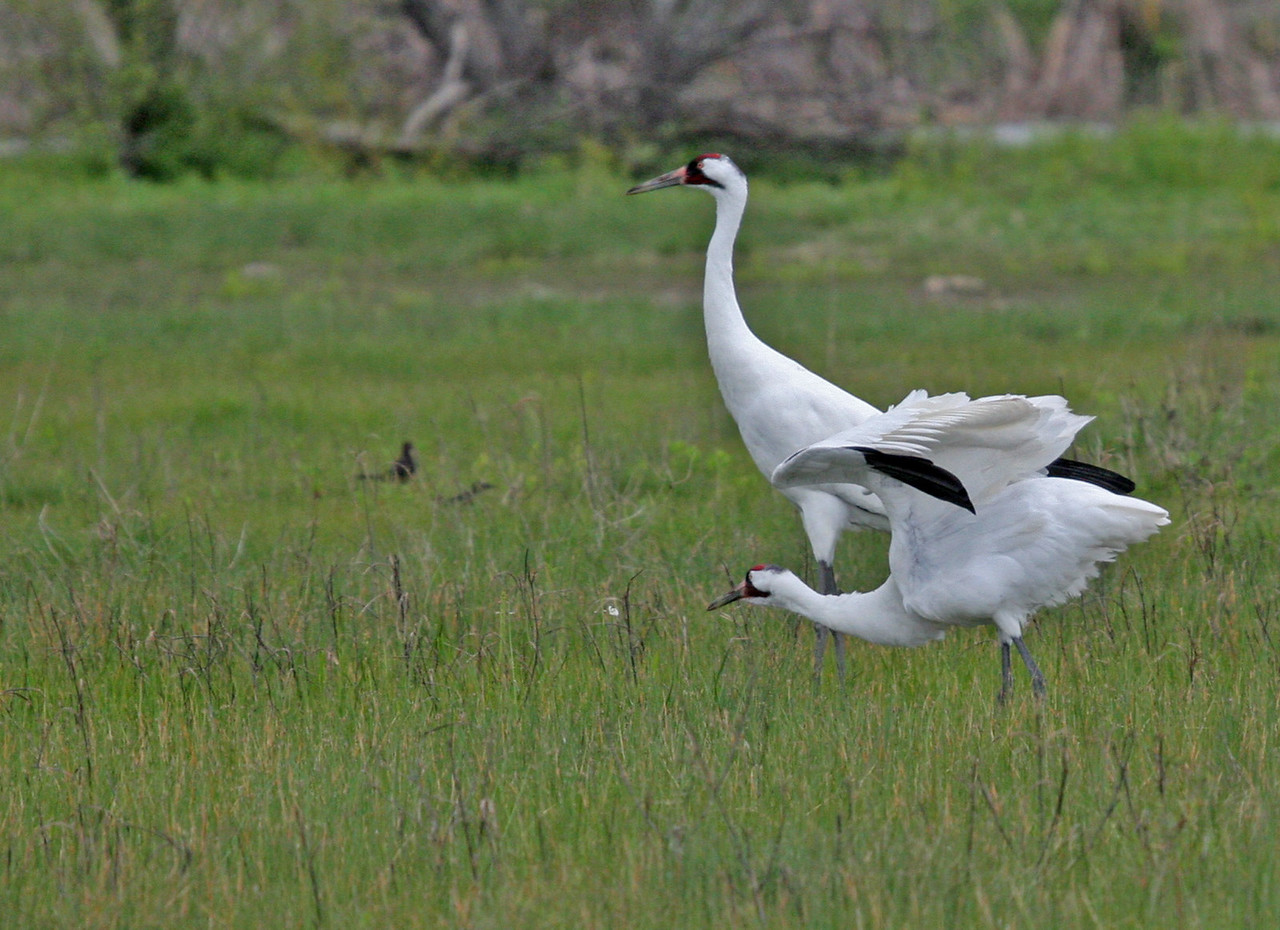 Unexpected Whooping Cranes found on Goose Island.