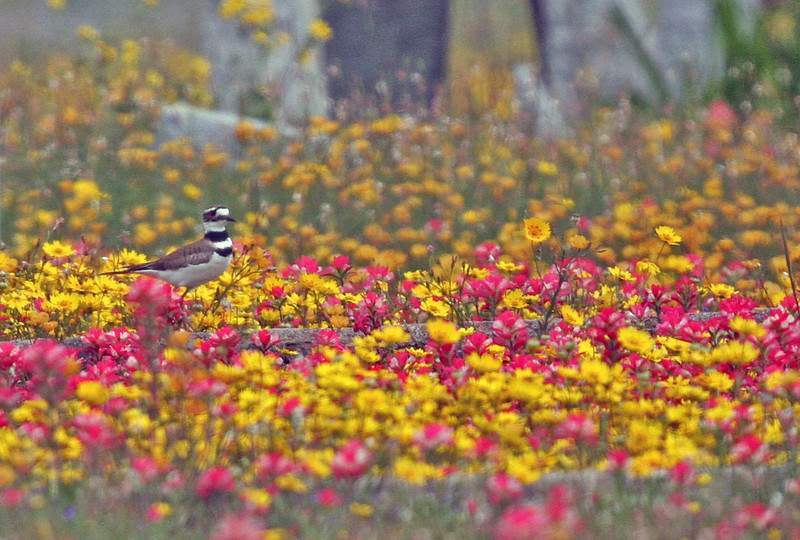 Killdeer - Choke Canyon, Calliham Unit.