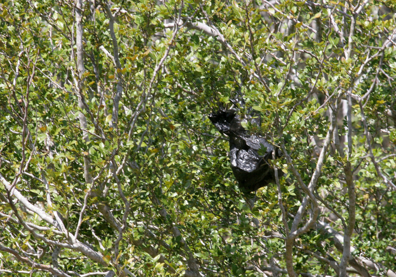 Eunice's Grooved-billed Ani - Nueces County Hilltop Trail