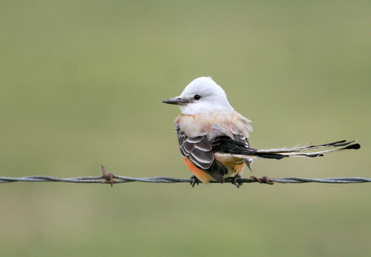 Scissor-tailed Flycatcher - Road side on the way to Choke Canyon