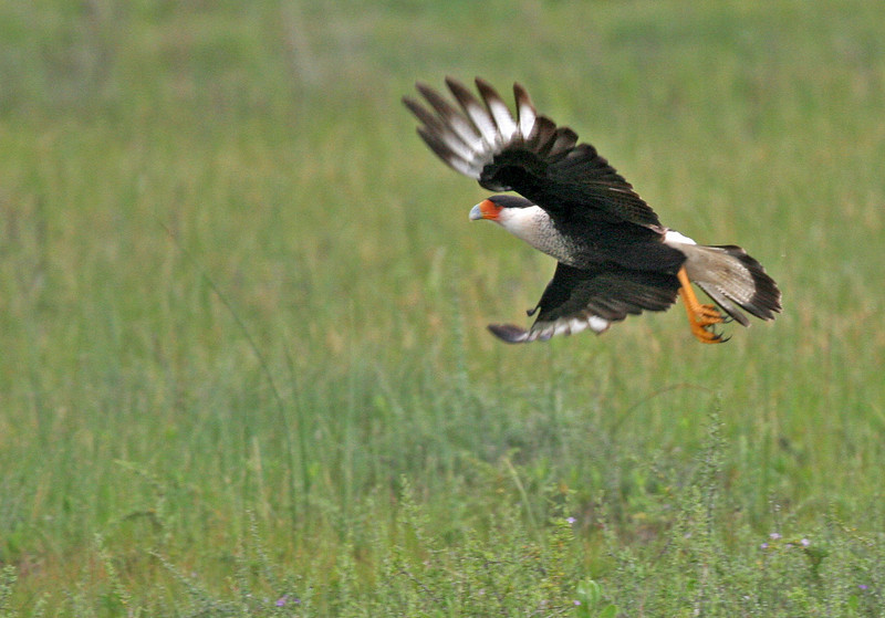 Beautiful Crested Caracara coming in for a landing at Goose Island.
