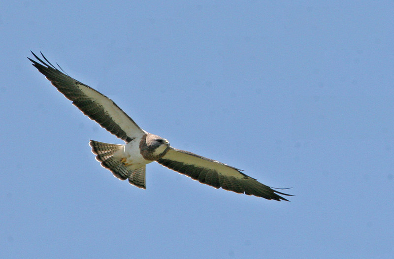White-tailed Hawk - Nueces County Hilltop Trail