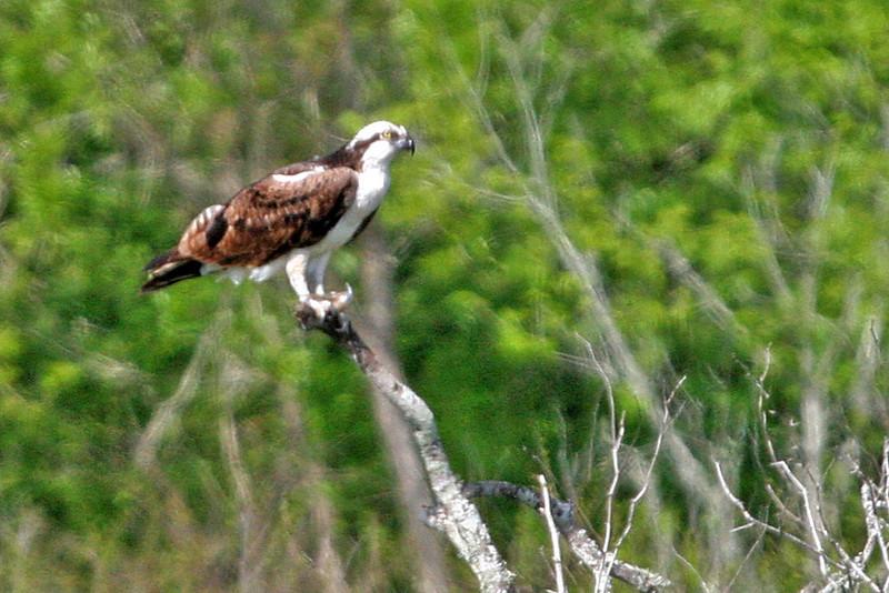 Osprey - Guadalupe Delta