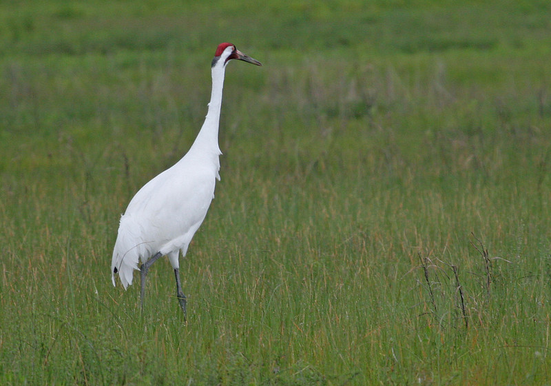 A close up observation of a Whooping Crane.
