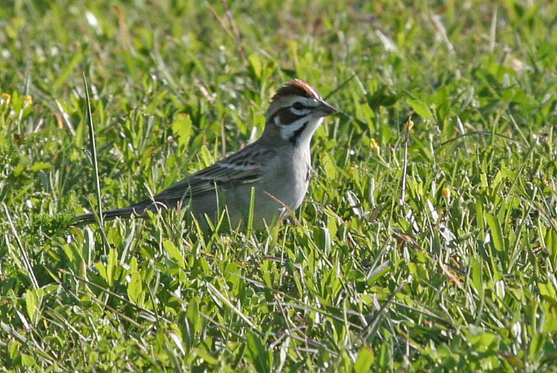 Lark Sparrow - Choke Canyon, Calliham Unit.