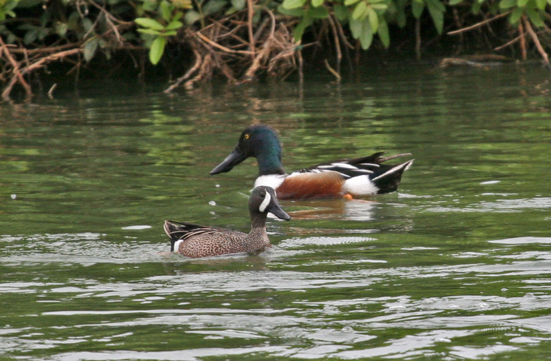 Northern Shoveler & Blue-winged Teal - Hans & Pat Suter Wildlife Refuge.