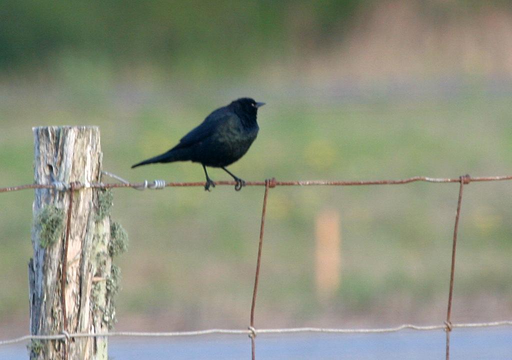 Brewer's Blackbird - Norias Division