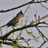 Black-crested (Mexican) Titmouse - Norias Division