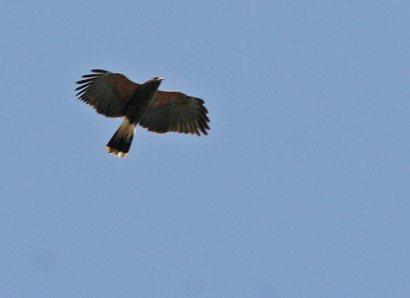 Harris's Hawk - Norias Division