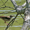 Louisiana Waterthrush - Norias Division