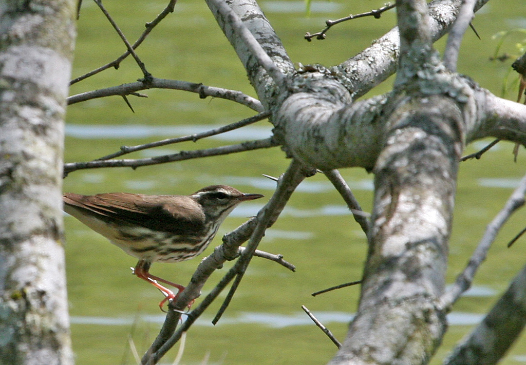 Louisiana Waterthrush - Norias Division