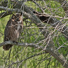 Great Horned Owl - Norias Division
