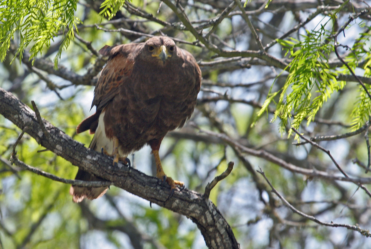 Harris's Hawk - Shiz & Karen saw him fly in right in front of the group. He gave all of us a great photo op!