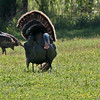 Wild Turkey - Norias Division