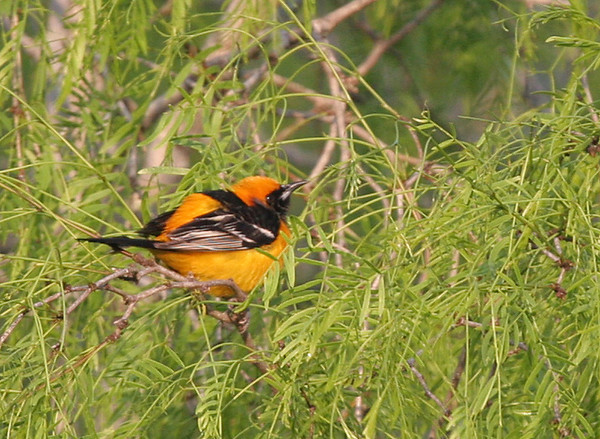 Hooded Oriole - Norias Division