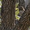 Ferruginous Pygmy-owl - Norias Division
