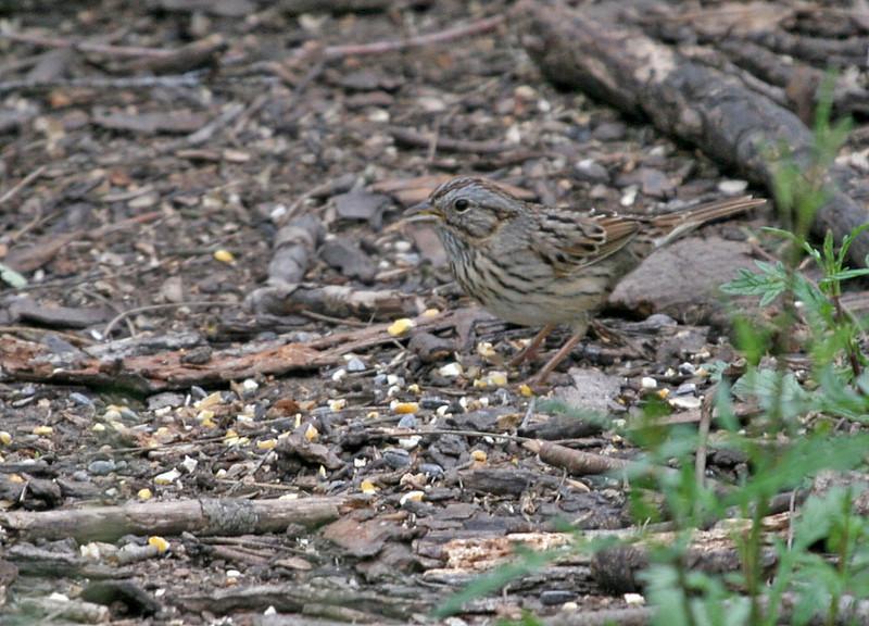 Lincoln Sparrow - Santa Gertrudis Division