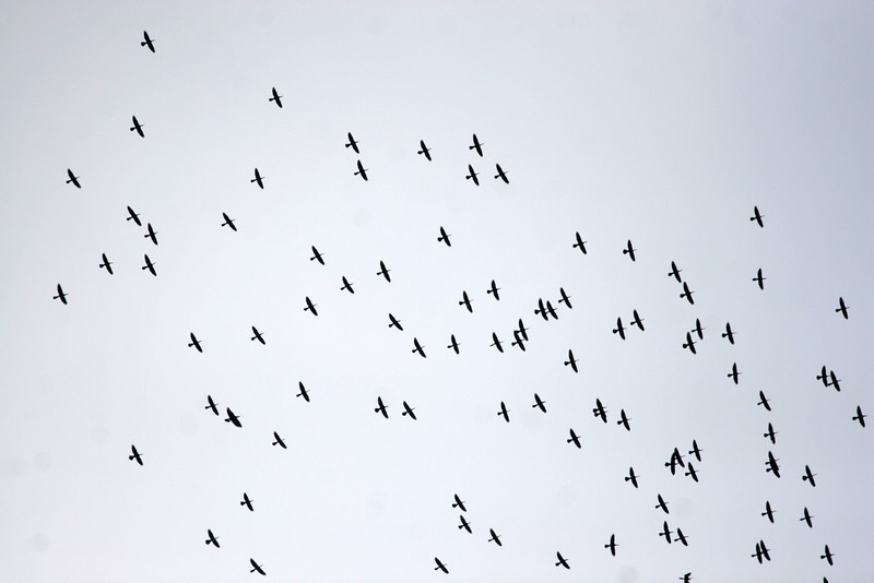 A large flock of Anhingas over the fields at Laureles Division..