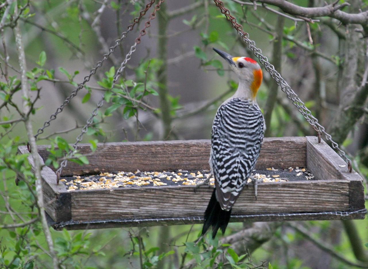 Golden-fronted Woodpecker - Santa Gertrudis Division