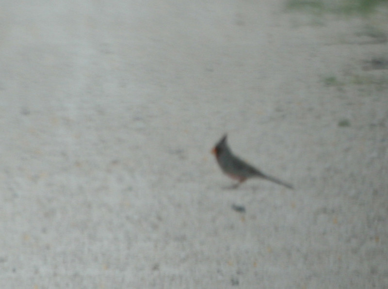 Pyrruhuloxia - Santa Gertrudis Division (what an awful photo)