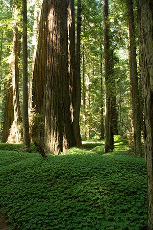 The California Redwoods
