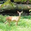 Deer at Pony Pasture