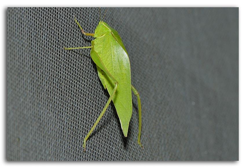 Leafhopper Scudders Bush Katydid