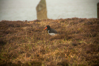 Oystercatcher in the Heather