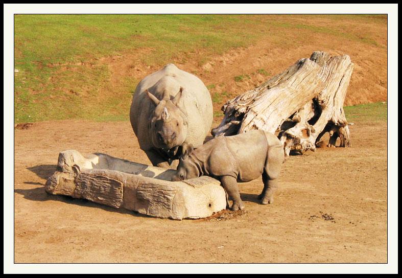 Rhinos  Wild Animal Park