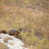 island fox (Urocyon littoralis)