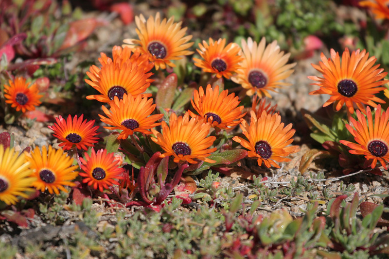 Anybody know the names of these flower? They were photographed in the Postberg section of the West Coast National Park.