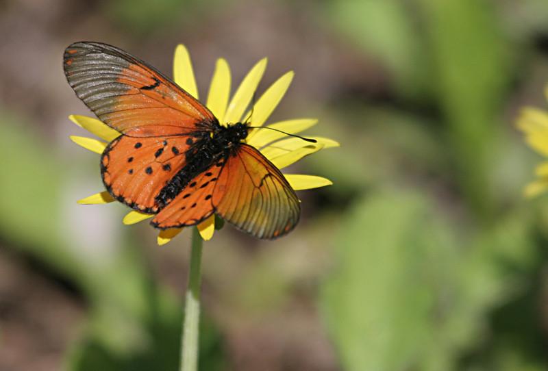 Acrea Butterfly photographed at Kirstenbosch National Botanical Garden