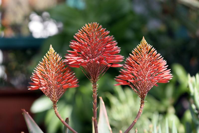 Aloe - Kirstenbosch National Botanical Garden
