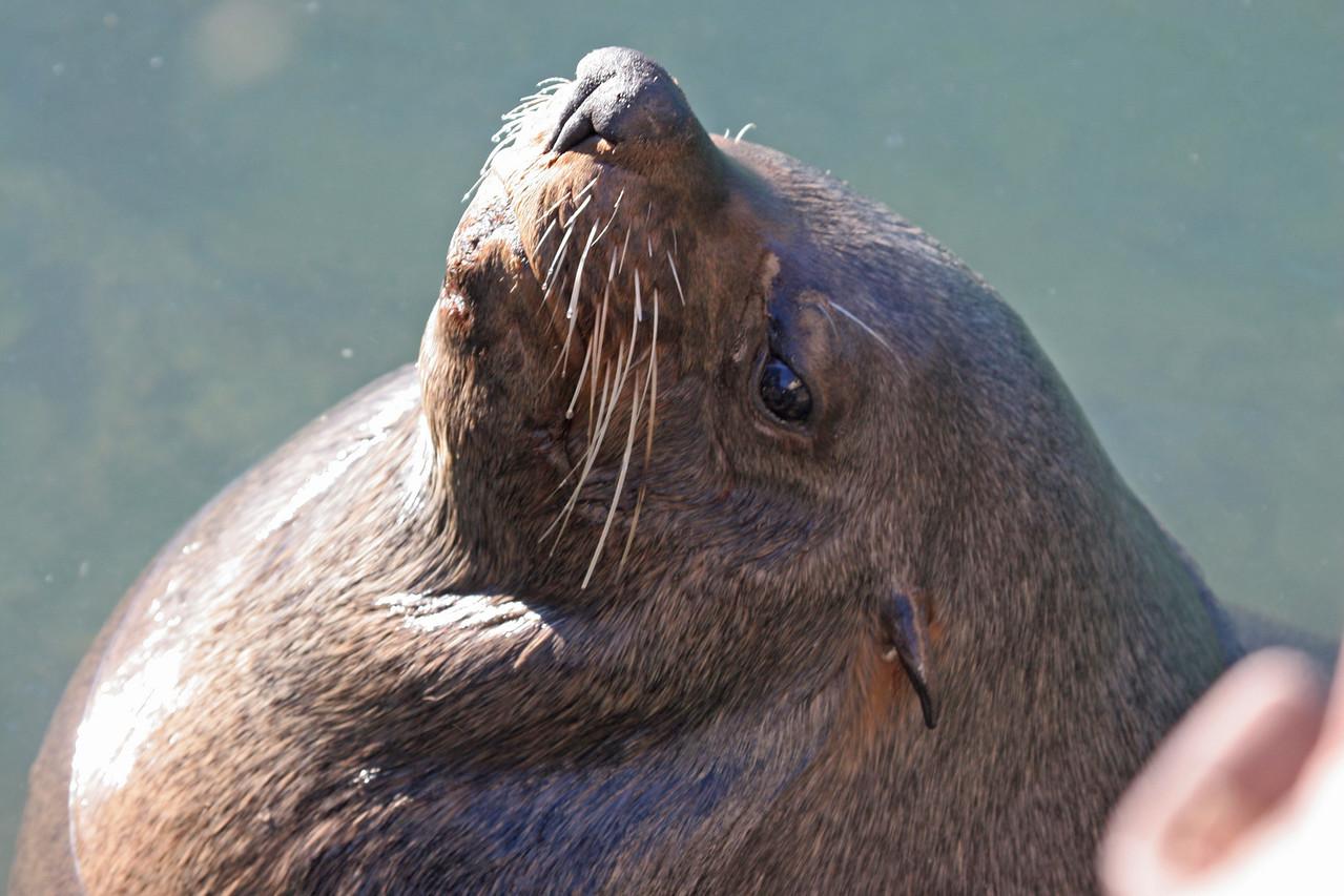 Duiker Island seal