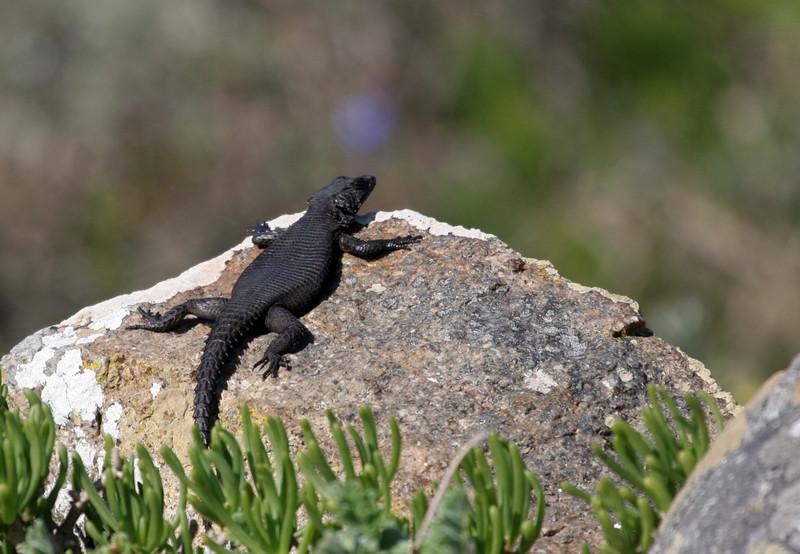 Cape Girdled Lizard - Western Coast National Park