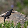 Cape Girdled Lizard - Western Coast National Park